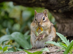 Chipmunk eats a Frog, yes a FROG! (Estrada77) Tags: chipmunk frogs wildlife outdoors cookcounty illinois nature animals spring2019 may2019 nikon nikond500200500mm