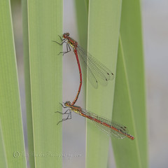 _IMG7418  Large Red damselflies in cop (Pete.L .Hawkins Photography) Tags: large red damselflies cop potteric carr petehawkins petelhawkinsphotography petelhawkins petehawkinsphotography 150mm irix macro pentaxpictures pentaxk1 petehawkinsphotographycom f28 11 fantasticnature fabulousnature incrediblenature naturephoto wildlifephoto wildlifephotographer naturesfinest unusualcreature naturewatcher insect invertebrate bug 6legs compound eyes creepy crawly uglybug bugeyes fly wings eye veins flyingbug flying beetle shell elytra ground