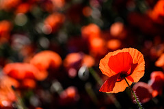 Diving in the Red (NathalieSt) Tags: 003nature camargue coquelicot europe fleur france gard languedocroussillon coquelicots fleurs flower flowers nature nikon nikond750 nikonpassion nikonphotography pavotpoppy poppies poppy printemps spring