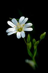 Greater Stitchwort (Stellaria holostea) (Adam Sibbald) Tags: greater stitchwort stellaria holostea nikon d850 macro close up wild wildflower flower nature ngc