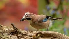 Jonge vlaamse gaai (Joke.Benschop) Tags: birds gaai inmygarden jay jokebenschop vlaamsegaai wwwjokebenschopcom bodegravenreeuwijk