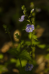 The spotlight (konradpoland) Tags: flower plant outdoor outside spring sun sunlight woodland nikon d7000 d7k sigma 105mm macro polska poland europa europe myosotis niezapominajka nomeolvides flores handheld nature naturephotography