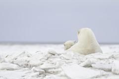 A mothers love (Khurram Khan...) Tags: polarbears wildlife wildlifephotography wild wwwkhurramkhanphotocom winter arctic alaska khurramkhan iamnikon nikonnofilter nikonwildlife