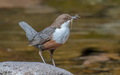 DSC8379 Dipper... (Jeff Lack Wildlife&Nature) Tags: dipper dippers waterouzel waterbirds waterways water birds bird avian animal animals wildlife wildbirds wildlifephotography jefflackphotography riverbirds rivers streams countryside nature