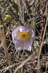 70 Mile Butte Trail - DSC_3477a (Markus Derrer) Tags: 70milebutte grasslands grasslandsnationalpark saskatchewan may markusderrer hikingtrail crocus flower