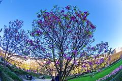 516 Paris en Mars 2019 - Un Magniolia dans le Jardin du Palais Royal (paspog) Tags: paris france palaisroyal mars march märz 2019 magniolia jardin jardindupalaisroayl