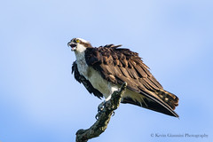 Osprey (Kevin James54) Tags: lakegalena nikond850 pandionhaliaetus peacevalleypark tamron150600mm animals avian bird kevingianniniphotocom osprey