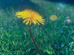 Dandy (PEEJ0E) Tags: psexpress filter spring backyard grass dandelion