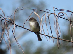 Eastern Phoebe - Texas by SpeedyJR (SpeedyJR) Tags: ©2019janicerodriguez aransasnwr aransascountytx easternphoebe phoebes birds wildlife nature nwr nationalwildliferefuges aransascountytexas texas speedyjr