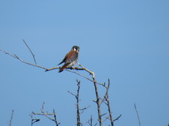 American Kestrel - Texas by SpeedyJR (SpeedyJR) Tags: ©2019janicerodriguez aransasnwr aransascountytx americankestrel kestrels birds wildlife nature nwr nationalwildliferefuges aransascountytexas texas speedyjr