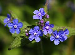 Green Alkanet (Wild Chroma) Tags: pentaglottis sempervirens pentaglottissempervirens alkanet flora netherlands boraginaceae boraginales heerenveen