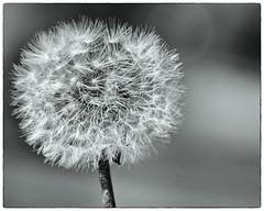 The Humble Dandelion (Tom55K) Tags: macrophotography macro wildflower bw blackandwhite bnw flowers dandelion