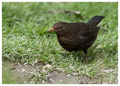 Blackbird (Tom Warne Photography) Tags: blackbird