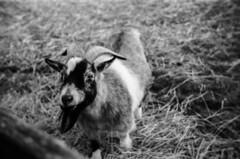 Das Goat.. (Chróma Fotiá) Tags: goat farm animal pet zoo vintage analog film 35mm argus afour foma fomapan 100 portrait bw blackandwhite