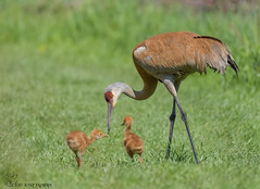 Sandhill Crane & Colts (18) (Estrada77) Tags: sandhillcrane birds bigbirds birding nature nikon nikond500200500mm cookcounty illinois wildlife outdoors spring2019 may2019