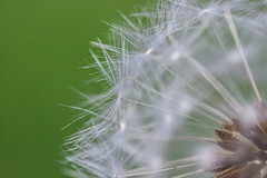 Dandelion seedhead (Philip Brookes) Tags: dandelion seedhead seed taraxacum flower garden
