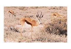 Springbok (AStomatin) Tags: animal springbok etosha national park africa travel analog film canon kodak portra telelens