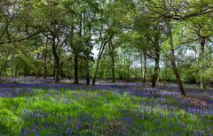 Bluebell Woodland Walk - Broadwells Wood - 18 May 2019 (Friends of Canley Green Spaces) Tags: canleygreenspaces canley coventry cv4 warwickuniversity warwickvolunteers walk woodland trees