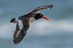 Oyster Catcher (Kevin E Fox) Tags: oystercatcher haematopuspalliatus bird birdwatching birding birds birdphotography birdinflight bif sigma150600sport sigma shorebirds shorebird nature nikond500 nikon newjersey
