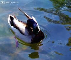 Mallard Drake (camerapoetry) Tags: mallards drakes ducks lake chorltonwaterpark manchester england uk urbanenvironment parklife parkland urban fauna
