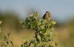Meadow Pipit (jonathancoombes) Tags: meadow pipit skylark birds wildlife nature explore
