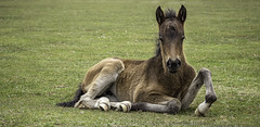 New Forest Baby (A Journey With A New Camera) Tags: foal horse newforest newforestpony dorset hampshire