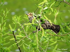 RWBB DSC09723 (clausholzapfel) Tags: redwinged blackbird