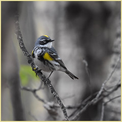 Yellow rumped (Myrtle )warbler (♂) (Ludo (Lone wolf) Bogaert.) Tags: xp
