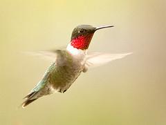 ruby throated hummingbird (eva8*) Tags: hummingbird bird green wildlife nature