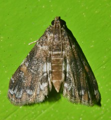 Many colour moth Elophila sp aff responsalis Crambidae Airlie Beach rainforest P1140161 (Steve & Alison1) Tags: many colour moth elophila sp aff responsalis crambidae airlie beach rainforest