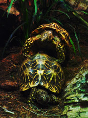 Keep Pushing (Steve Taylor (Photography)) Tags: tortoise breeding animal reptile digitalart dark black brown green lowkey yellow rock texture asia singapore zoo scales
