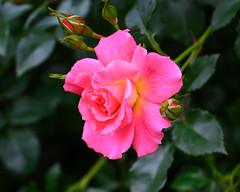 2019 Spring roses (shinichiro*) Tags: 横浜市 神奈川県 日本 20190515dsc6172 2019 crazyshin nikon1v3 v3 1nikkorvr70300mmf4556 may spring yokohama kanagawa japan jp 横浜イングリッシュガーデン yeg rose 47885473811 candidate
