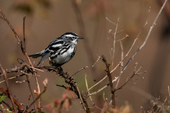 Black and White Warbler (grobinette) Tags: blackandwhitewarbler warbler neotropical easternpa sabrewingnaturetours
