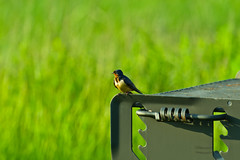 Barn Swallow on a Grill (ramseybuckeye) Tags: barn swallow glacier ridge metropark dublin franklin county ohio