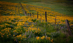 What April Showers Bringeth (NW Vagabond) Tags: flowers spring fence balsomroot lupine field yellow columbiarivergorge 2019 washington state morning