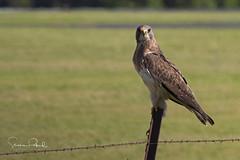 Swainson's Hawk (Stephen J Pollard (Loud Music Lover of Nature)) Tags: swainsonshawk buteoswainsoni raptor averapaz avedepresa birdofprey bird ave aguililladeswainson