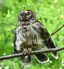 Barred Owl (Mary Sonis) Tags: owl barred darthveder predation wildlife bird carolina flight