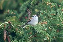 Chipping Sparrow On Spruce Tree Branch 007 - Spizella Passerina (Chrisser) Tags: birds bird sparrows sparrow chippingsparrows chippingsparrow spizellapasserina nature ontario canada canoneosrebelt6i canonef75300mmf456iiiusmlens passerellidae