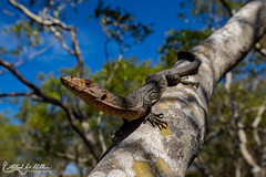 Rusty Monitor (Halvard Aas Midtun) Tags: monitor reptile lizard canon canon7d australia varanidae nature wildlife animal ngc animalplanet planetanimal