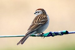 Chipping Sparrow On Clothesline 003 - Spizella Passerina (Chrisser) Tags: birds bird sparrows sparrow chippingsparrows chippingsparrow spizellapasserina nature ontario canada canoneosrebelt6i canonef75300mmf456iiiusmlens passerellidae