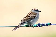 Chipping Sparrow On Clothesline 004 - Spizella Passerina (Chrisser) Tags: birds bird sparrows sparrow chippingsparrows chippingsparrow spizellapasserina nature ontario canada canoneosrebelt6i canonef75300mmf456iiiusmlens passerellidae