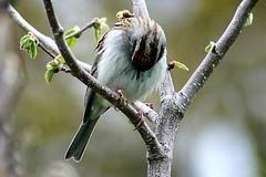 Chipping Sparrow On Corkscrew Hazel Shrub Branch 001 - Spizella Passerina (Chrisser) Tags: birds bird sparrows sparrow chippingsparrows chippingsparrow spizellapasserina nature ontario canada canoneosrebelt6i canonef75300mmf456iiiusmlens passerellidae