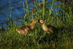 Goslings playing (cameron.tucker) Tags: gosling baby babygoose goose geese