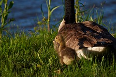 Gosling Eating with Mom (cameron.tucker) Tags: gosling baby babygoose goose geese