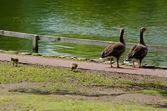 Greylag family, West Park, a change of scene (Dave_A_2007) Tags: bird goose gosling nature wildlife wolverhampton westmidlandscombinedauthority england