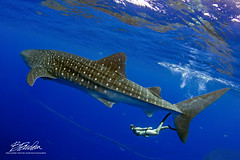 Whale Shark (bodiver) Tags: hawaii ocean pelagic ambientlight wideangle freediving peo whaleshark blue fins