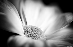 Chrysanthemum (Ken Mickel) Tags: beautiful chrysanthemum floral flower flowers flowersplants kenmickelphotography plants blackandwhite blossom blossoms botanical closeup nature