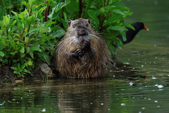 Funny Nutria (2/3) (Franck Zumella) Tags: myocastor coypu ragondin eau castor rat water lake lac nager swim nutria red orange rouge teeth tooth dent animal wildlife cold froid fun funny amusant no non nonono ok human behaviour omg oh god laugh rire song sing chanter chanson singer chanteur sony a7s a7 tamron 150600