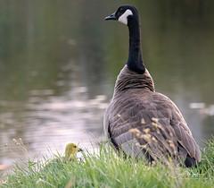 IMG_1138 (Scott Martin - Photographer) Tags: bridlewoodwetlands bridlewood calgary alberta canada ca birds animals canadagoose gosling goose