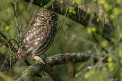 little owl / ahtene noctua (eric-d at gmx.net) Tags: athenenoctua littleowl owl eule steinkauz ngc eric